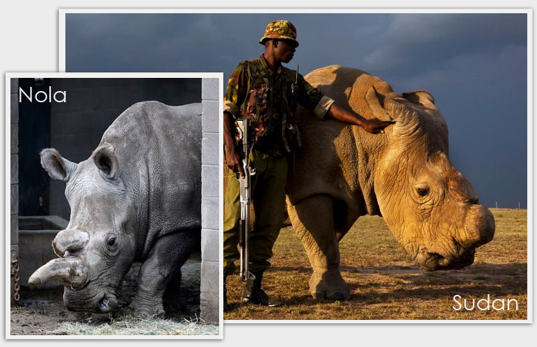 Only 3 northern white rhino left