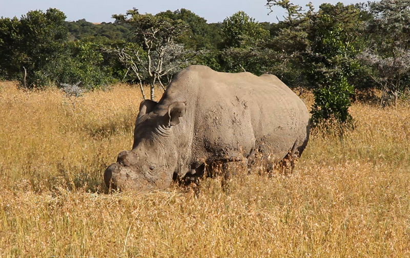 IVF techniques to provide hope for Northern White Rhino
