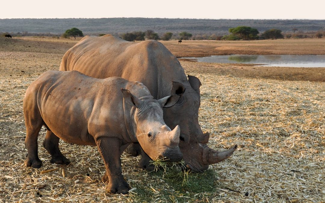 The 3 most promising solutions to rhino poaching